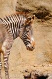 Zebra del Grevy Immagini Stock Libere da Diritti