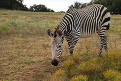 Zebra del Grevy Fotografia Stock Libera da Diritti