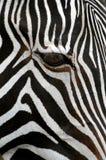 Zebra del Grevy Fotografie Stock
