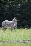Zebra del Grevy Immagini Stock