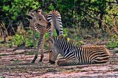 Zebra del ` s di Grant, boehmi della quagga di equus, nel parco nazionale del sud di Luangwa, lo Zambia fotografia stock
