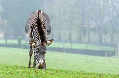 Zebra del ` s di Grevy Fotografia Stock