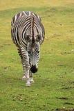 Zebra della concessione d'avvicinamento Fotografie Stock Libere da Diritti