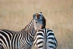 Zebra della foto che riposa la sua testa sulla parte posteriore dell'amico la savana africana Fotografia Stock