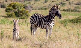Zebra della madre ed il suo puledro Immagine Stock Libera da Diritti