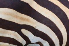 Zebra della priorità bassa di struttura Fotografia Stock