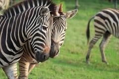Zebra delle coppie Fotografia Stock Libera da Diritti