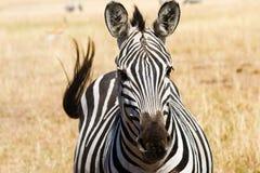 Zebra delle pianure Fotografie Stock Libere da Diritti