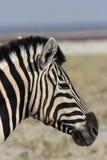 Zebra delle pianure Fotografia Stock