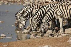Zebra delle pianure Fotografie Stock