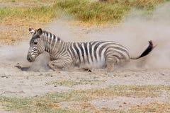Zebra delle pianure che arriva a fiumi polvere immagine stock libera da diritti