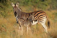 Zebra delle pianure con il foal Immagini Stock