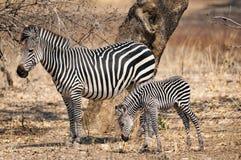 Zebra delle pianure con il suo cucciolo Immagini Stock