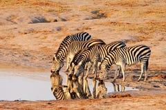 Zebra delle pianure (Equus Burchelii) che beve a Nyamand fotografie stock libere da diritti