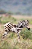 Zebra delle pianure (quagga del Equus) Fotografie Stock Libere da Diritti