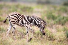 Zebra delle pianure (quagga del Equus) Immagine Stock