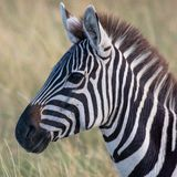 Zebra in der afrikanischen Savanne, bei Masai Mara, Kenia lizenzfreies stockfoto