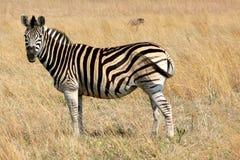 Zebra, der auf einem Gebiet weiden lässt stockfotografie