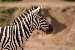 Zebra, der aufmerksam schaut Lizenzfreie Stockfotografie