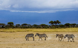 Zebra in der Dämmerung des Abends stockbild