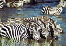 Zebra, der etwas trinkt Stockbild