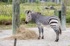 Zebra in der Gefangenschaft stockbilder