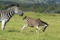 Zebra, der ihre Junge drückt Stockfoto