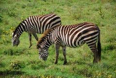 Zebra in der natürlichen Umgebung Lizenzfreie Stockfotos