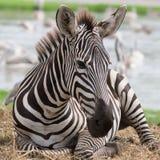 Zebra in der Safariwelt, Bangkok Thailand lizenzfreie stockfotografie