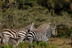 Zebra in der Savanne Lizenzfreie Stockbilder
