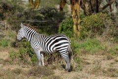 Zebra in der Savanne Stockfotografie