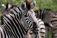 Zebra, der seine Zähne zeigt Stockfotografie