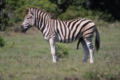 Zebra in der Sonne Lizenzfreies Stockbild