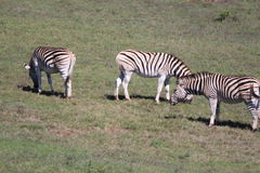 Zebra in der Sonne Stockfotografie