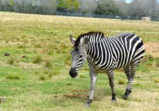 Zebra der wild lebenden Tiere Stockfotos