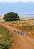 Zebra des Ngorongoro Kraters Lizenzfreie Stockfotografie