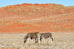 Zebra and Desert Landscape - NamibRand, Namibia Royalty Free Stock Images