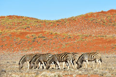 Zebra and Desert Landscape - NamibRand, Namibia Royalty Free Stock Photography