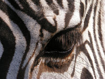 Zebra - detail Stock Photography