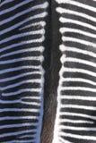 Zebra detail Royalty Free Stock Photography