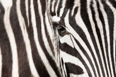 Zebra detail Royalty Free Stock Photography