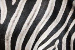 Zebra in detail Stock Image