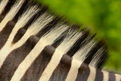 Zebra detail Royalty Free Stock Photo