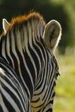 Zebra details Royalty Free Stock Photo