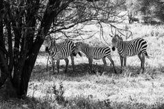 Zebra di B&W nel parco nazionale di Tarangire, Tanzania Fotografia Stock
