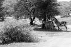 Zebra di B&W nel parco nazionale di Tarangire, Tanzania Fotografie Stock Libere da Diritti