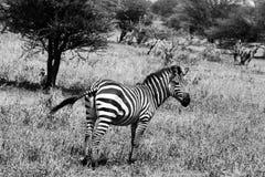 Zebra di B&W nel parco nazionale di Tarangire, Tanzania Immagini Stock