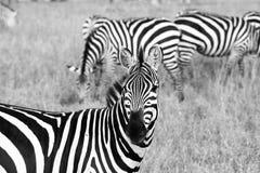 Zebra di B&W in Serengeti, Tanzania Immagini Stock