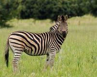 Zebra di Burchells Immagini Stock Libere da Diritti