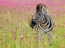 Zebra di Burchells Immagine Stock Libera da Diritti